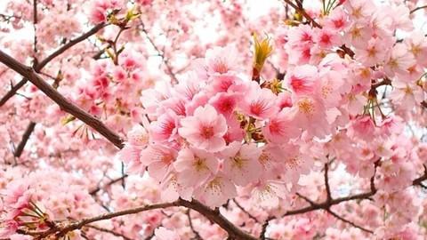 Ngỡ ngàng trước mùa hoa anh đào Nhật Bản đẹp đến nao lòng